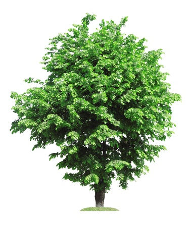 elm: old green elm tree, isolated over white