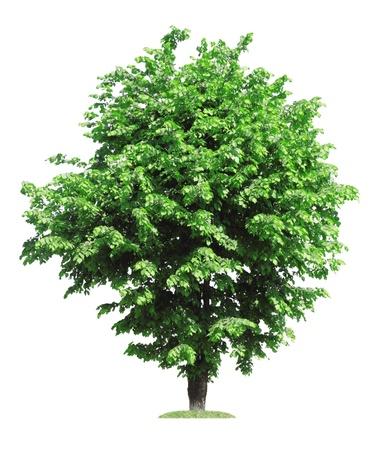 vecchio olmo verde, isolato su bianco