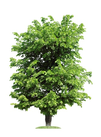 green elm tree, isolated over white photo