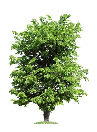 verde olmo albero, isolato su bianco Archivio Fotografico
