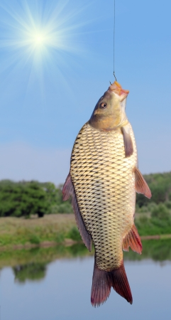 carp on a fishing hook on sky and river  background photo