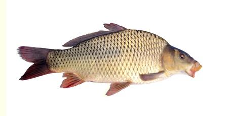 pez carpa: carpa aislado más de blanco Foto de archivo