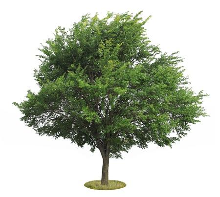 verde olmo, albero, isolato su bianco Archivio Fotografico