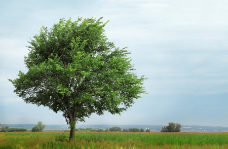 elm: green lonely tree growing in a field Stock Photo