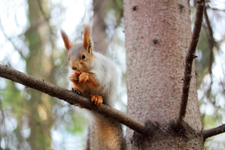 foreleg: squirrel on a branch of pine with a meal in the hands Stock Photo