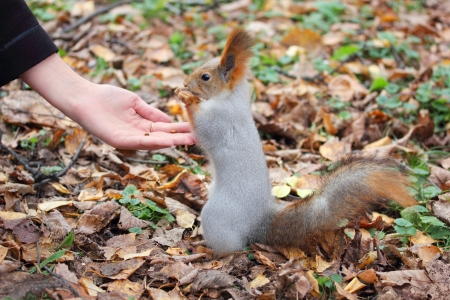 squirrel takes nuts from hand and eats them photo
