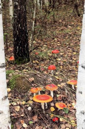 inedible: red mushroom in the woods among birches