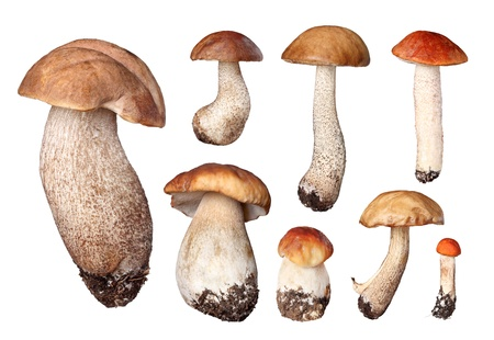set of boletus isolated on white photo