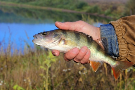 pisciculture: bass in the hand of fisherman against the river