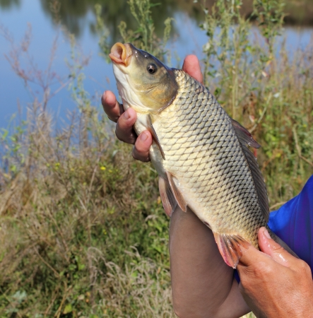 carp in the hand of fisherman against the river photo