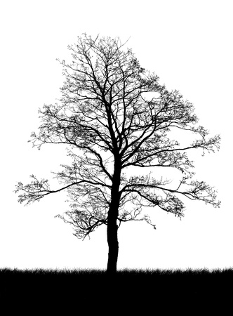 toter baum: Silhouette eines toten Baum isoliert auf wei�