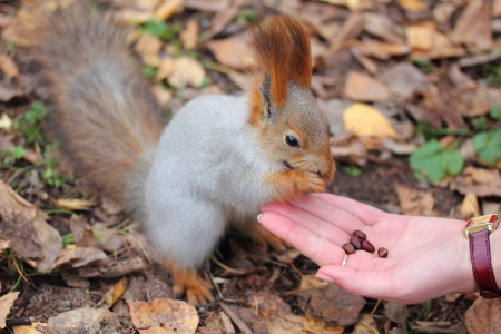 foreleg: squirrel takes nuts from hand and eats them