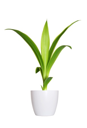 Potted plants: Houseplant - yang sprout of Yucca a potted plant isolated over white