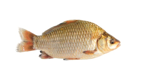 crucian isolated over white  photo