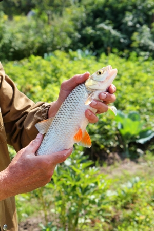 pisciculture: chub in the hand of fisherman Stock Photo
