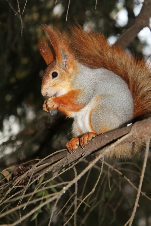 foreleg: squirrel on a branch of pine