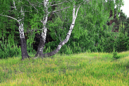 birch grove in the spring photo