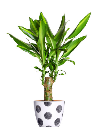 houseplant: Houseplant - dracena steudneri stemm a potted plant isolated over white