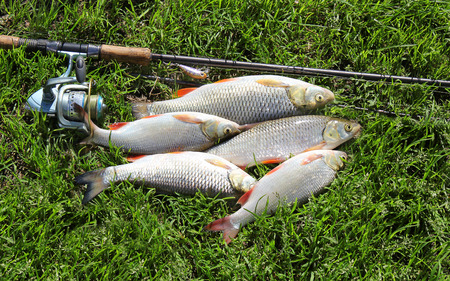 ide: fishing catch - Ide and chub Stock Photo