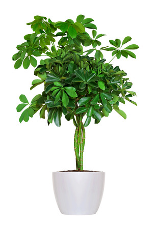 白で隔離された若い Schefflera 鉢植えの植物