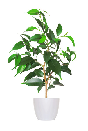 young sprout of ficus a potted plant isolated over white  photo