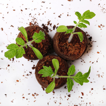 A tomato seedling in the peat pot Stock Photo