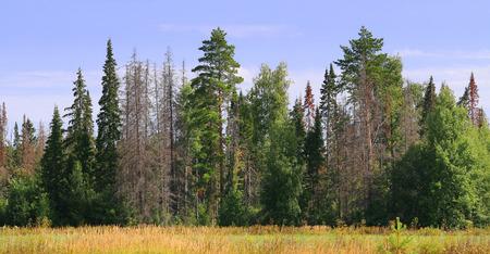 arbol de pino: borde del bosque con �rboles muertos Foto de archivo
