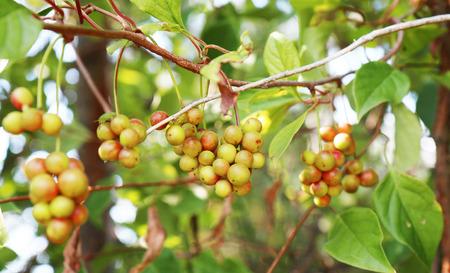 Chinese magnolia vine berries  photo