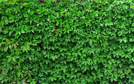 ivy wall: ideas for garden - Green ivy seamless texture