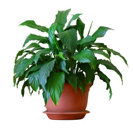 spathiphyllum 免版税图像