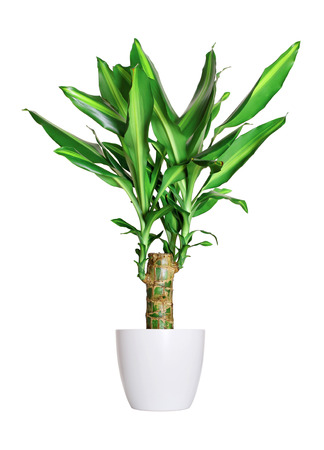 Houseplant - dracena steudneri stemm a potted plant isolated over white
