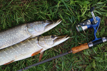 zander: fishing catch pike on the grass and fishing gear Stock Photo