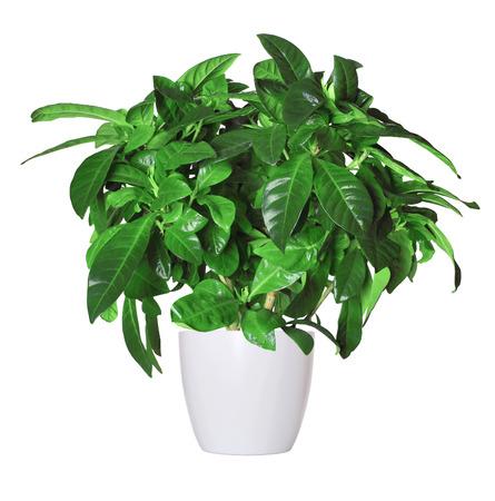 crecimiento planta: gardenia una planta en maceta aislado sobre blanco Foto de archivo
