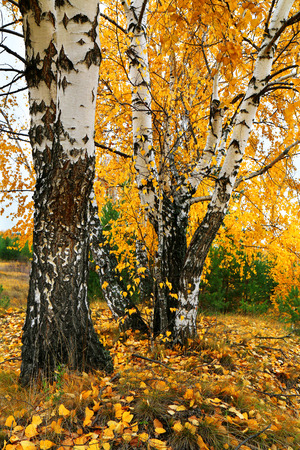 specificity: fall yellow birch grove