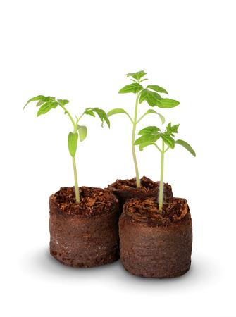 turba: Un plantón de tomate en el crisol de la turba, aislado Foto de archivo