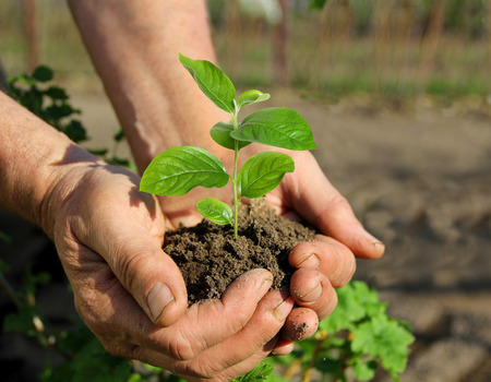 caring hands: Hands holding a young sapling, caring for plants