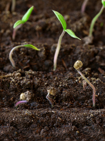 semen: small green seedling in the ground
