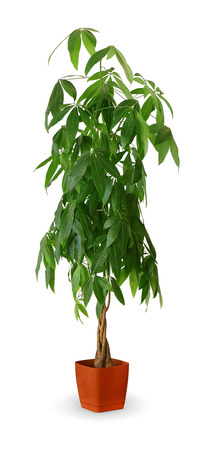 Pachira aquatica a potted plant isolated over white