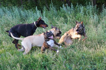 alsatian shepherd: four dogs in a park Stock Photo