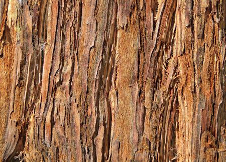 roble arbol: Hasta cerca de Redwood Bark