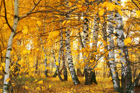 specificity: fall golden birch grove Stock Photo