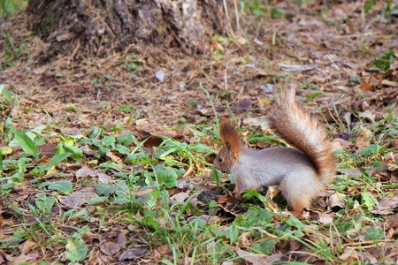 foreleg: squirrel standing on the ground on his hind legs