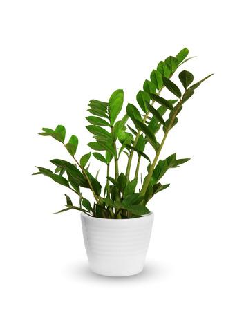 Joven Zamioculcas una planta en maceta aislado sobre blanco Foto de archivo - 45095125