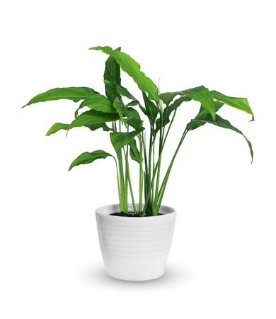 spathiphyllum Фото со стока
