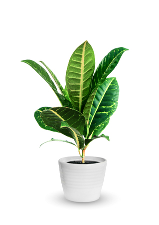 young croton (codieum) a potted plant isolated over white