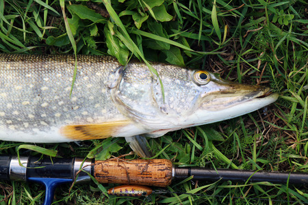 zander: pike fishing catch on the grass and fishing gear Stock Photo