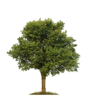 緑のニレ木、白で分離