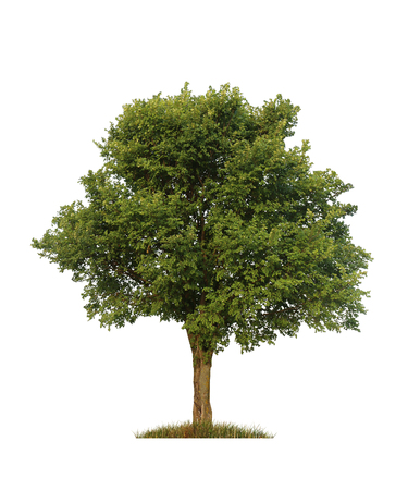single tree: green elm tree, isolated over white