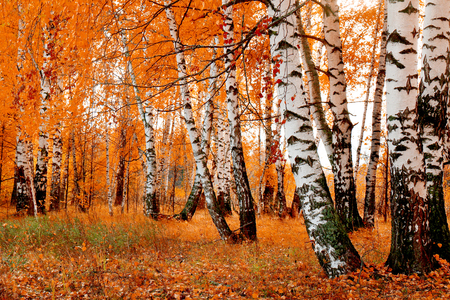 orange birch grove