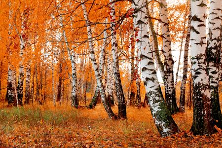 Landschap: oranje berkbosje